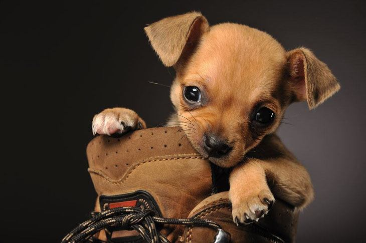 cute chihuahua puppy chewing on a shoe