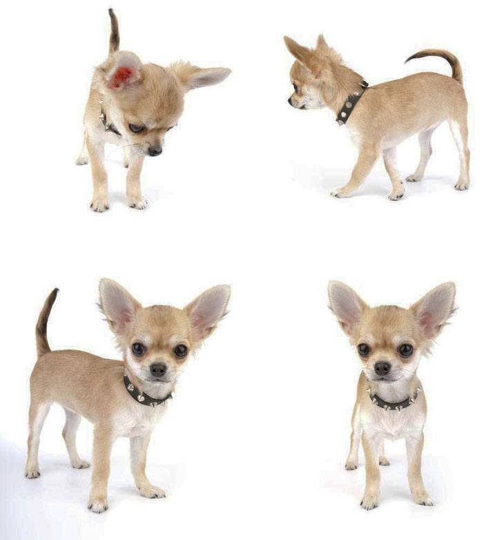 chihuahua puppy looking for a playmate