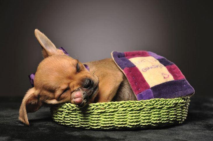 chihuahua puppy enjoying a long nap