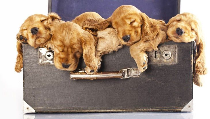 cocker spaniel puppies napping