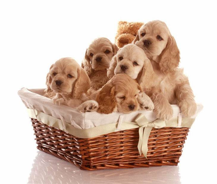 cocker spaniel puppies in a basket