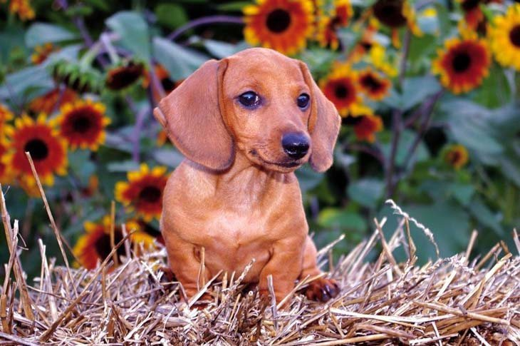 dachshund dog looking to make friends