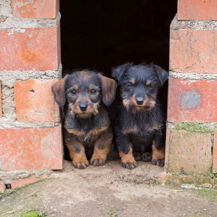 two cute dachshund puppies