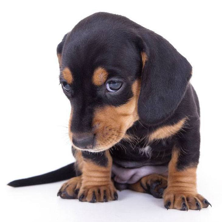 this dachshund has been a bad dog