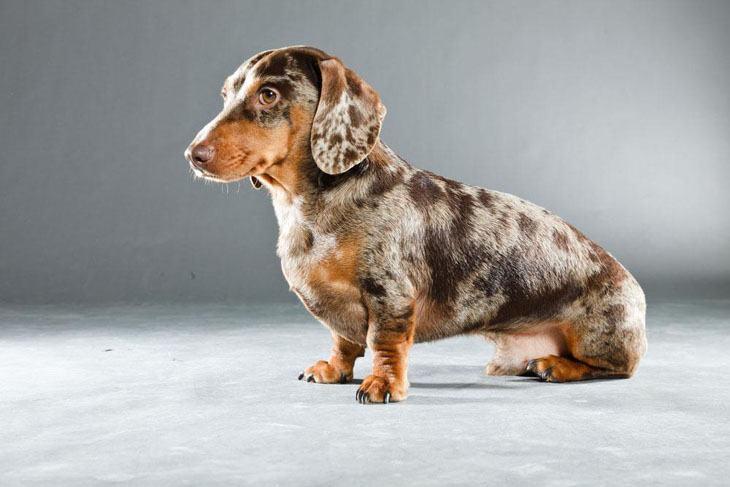 harlequin dachshund puppy