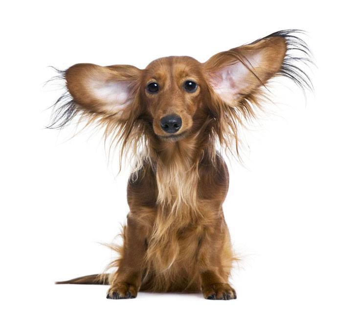 long haired dachshund with big ears