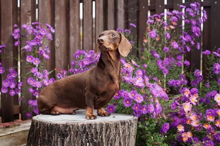 dachshund posing in a flower garden