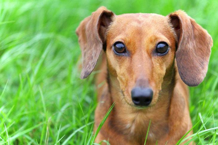 dachshund staring at camera