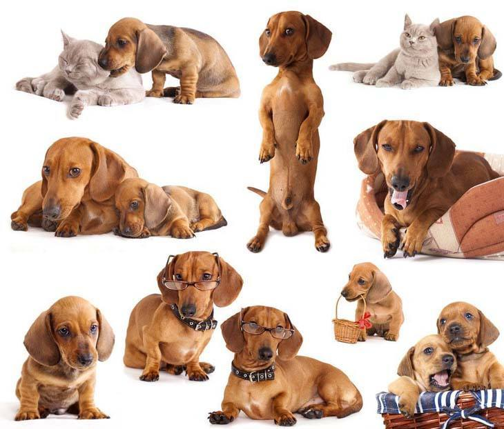 dachshund image collage