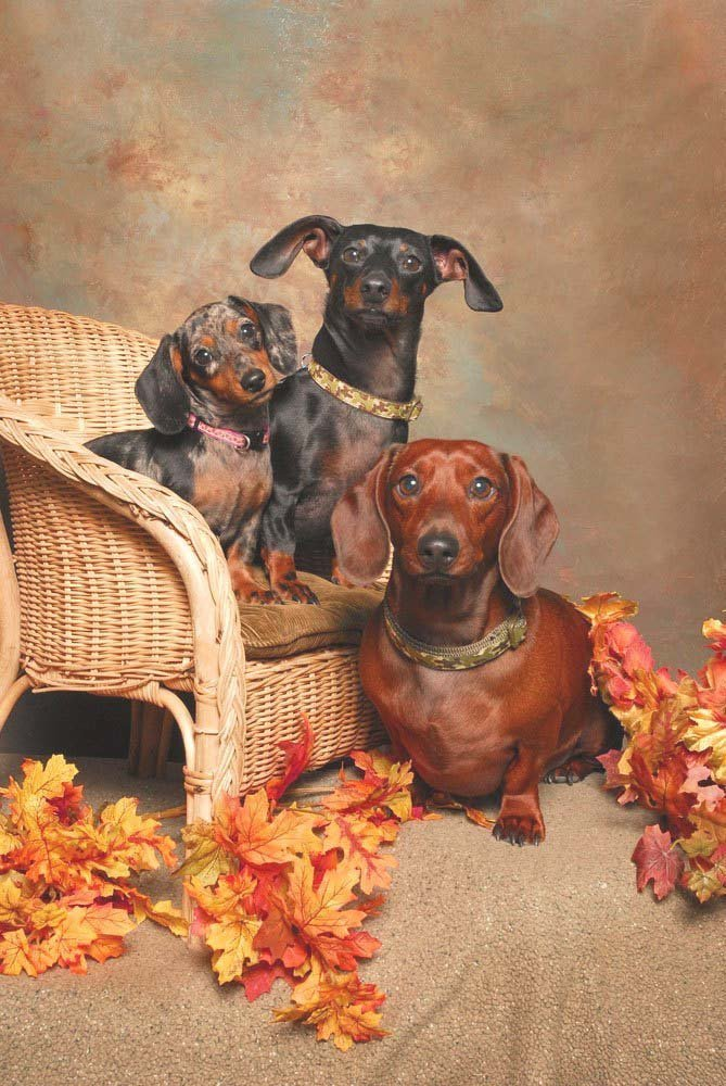 three cute dachshunds posing for the camera