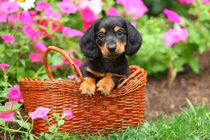 cute dachshund puppy in a basket