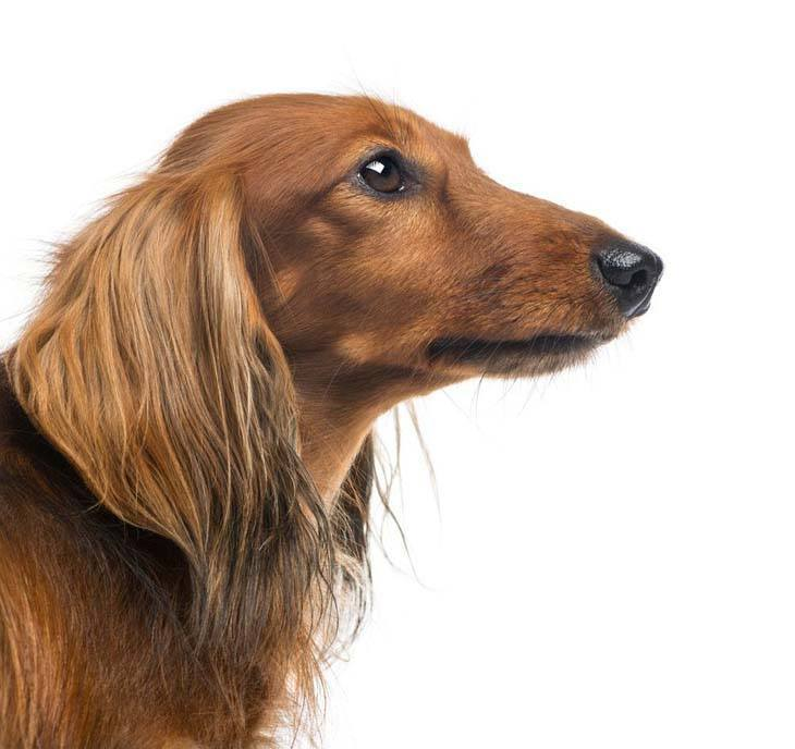 long haired dachshund profile