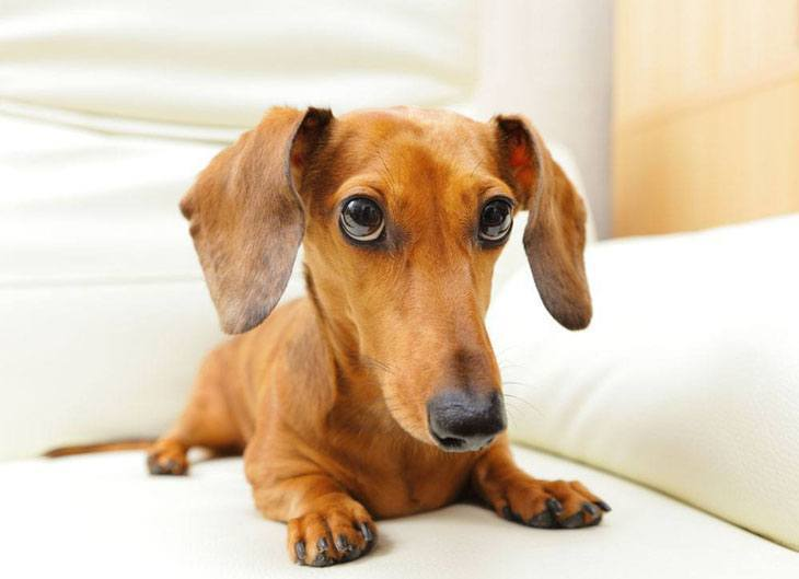 this dachshund has a guilty look