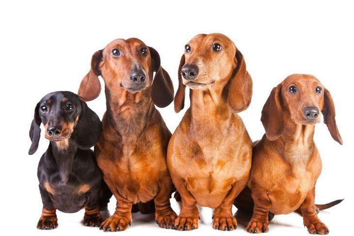 four dachshund buddies looking for trouble