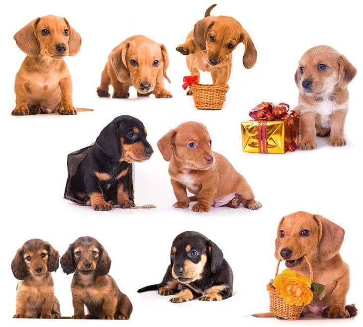 dachshund puppies posing in a collage