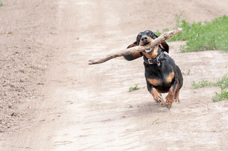 dachshund running with a branch