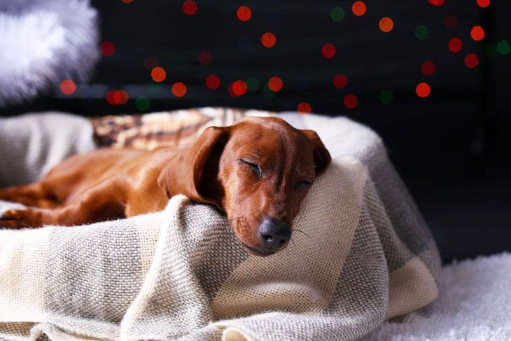 doxie dog taking a nap
