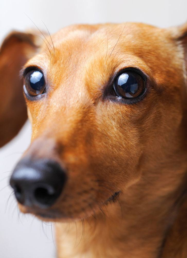 beautiful closeup of a dachshund