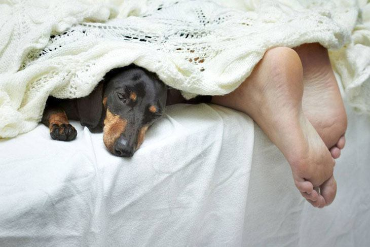 funny dachshund sharing the bed with it's owner