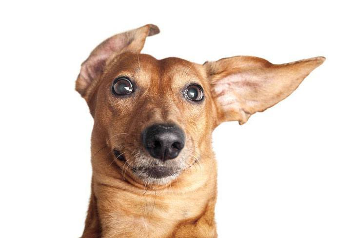 cute dachshund with ears pointing right