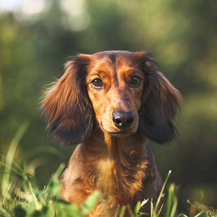 dachshund out in nature