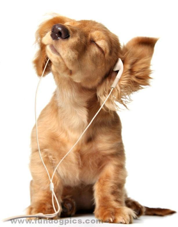 dachshund puppy enjoying the music