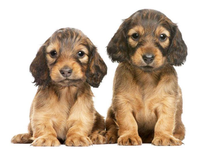 two long haired doxie pups