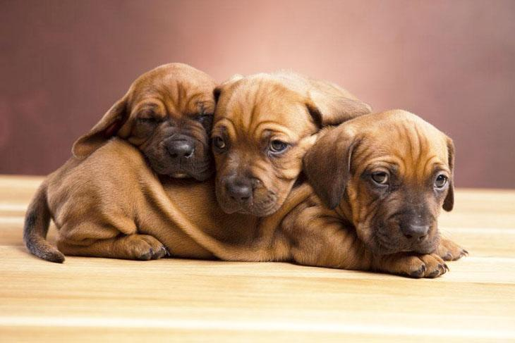 three dachshund puppies wanting to play