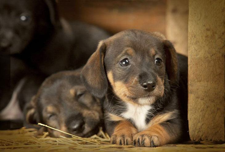 two dachshund puppies that are hungry