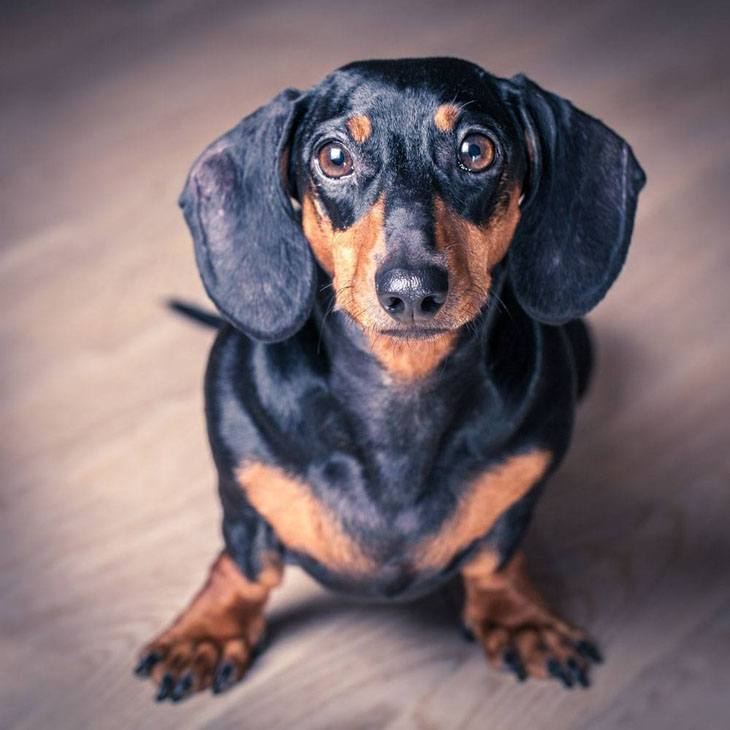 dachshund that looks hungry
