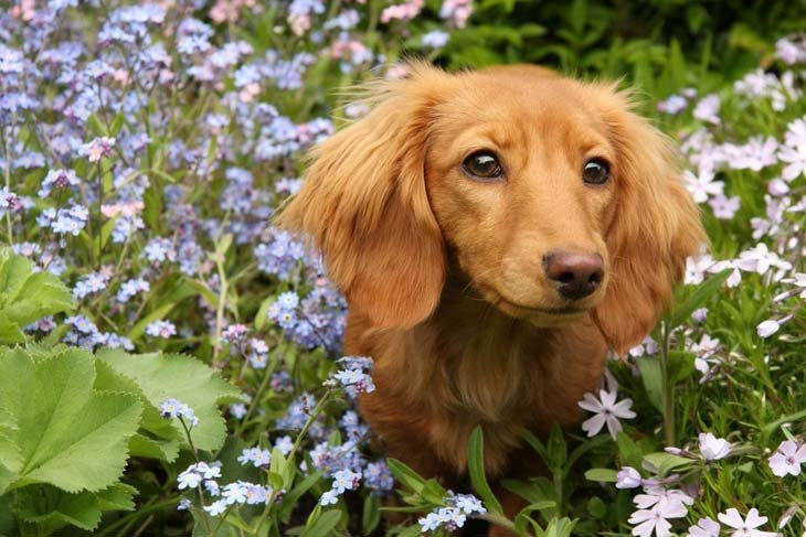 dachshund puppy in a field of flowers