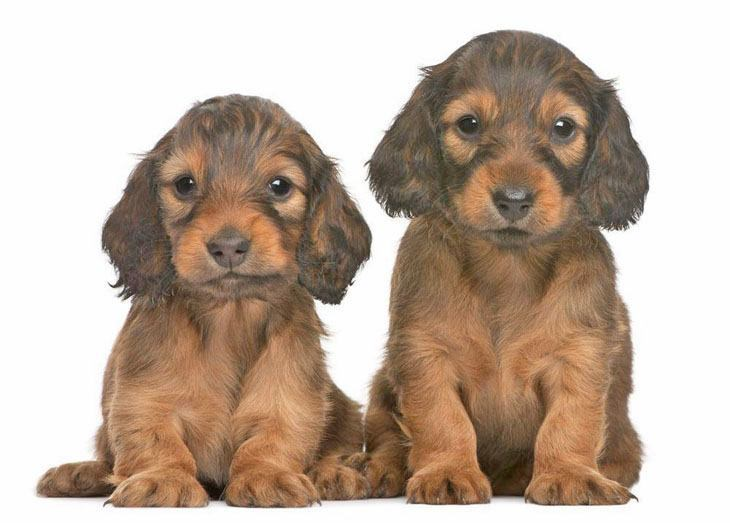 long haired dachshunds posing for the camera