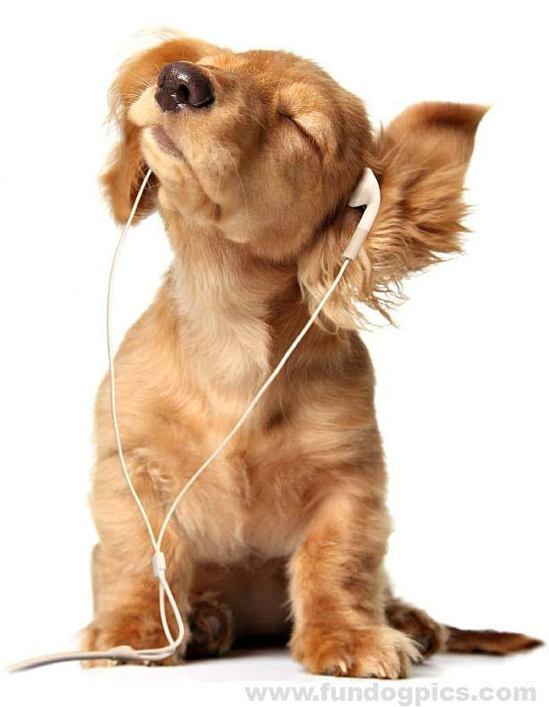 dachshund puppy rocking out to music