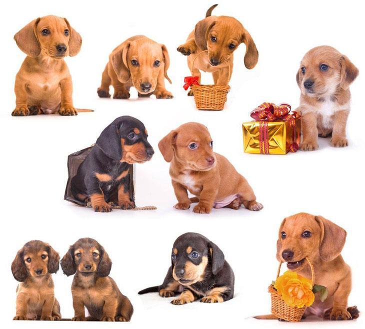 montage of dachshund puppies