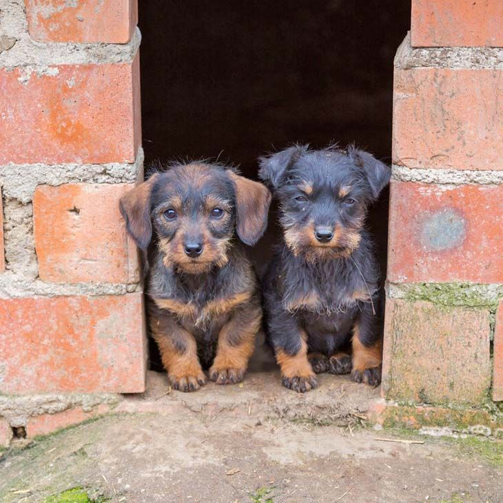 two dachshund pals