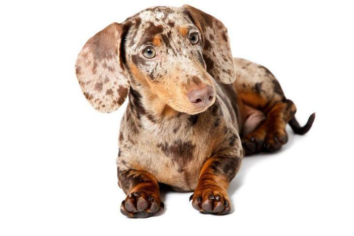 merle colored dachshund puppy