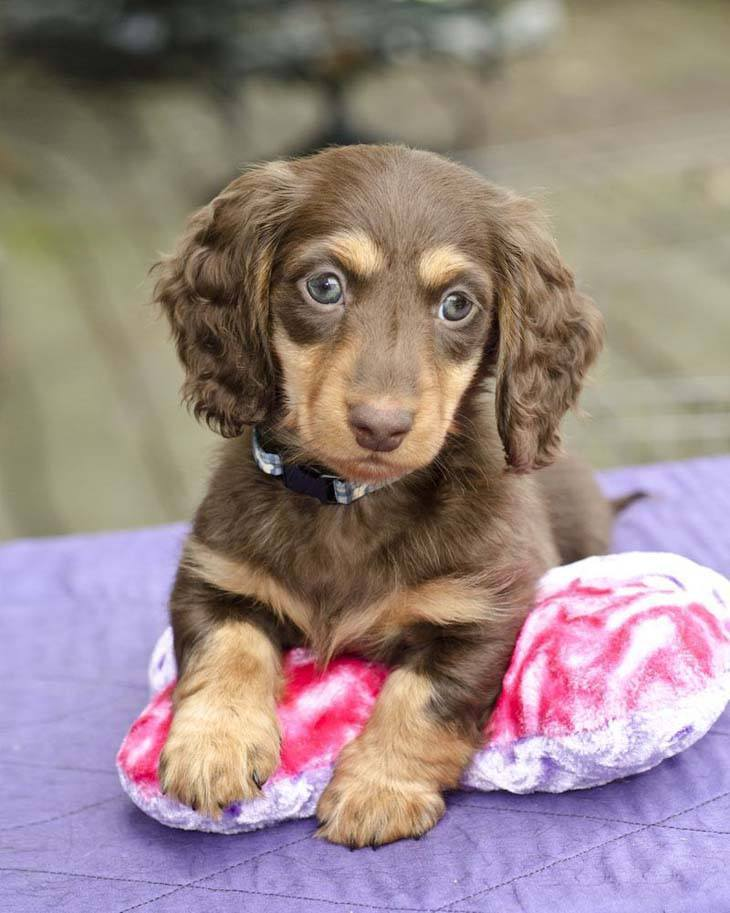 dachshund puppy posing for the camera