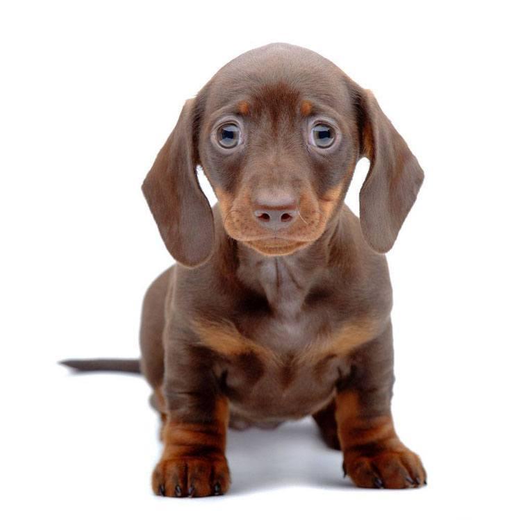 dachshund puppy with big eyes