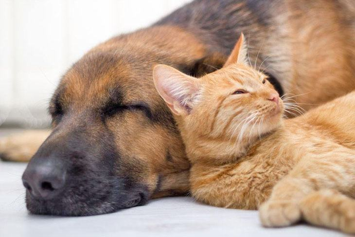 cat sleeping with dog