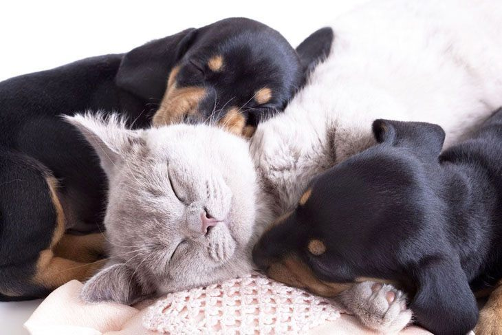 dachshunds and cat taking a nap