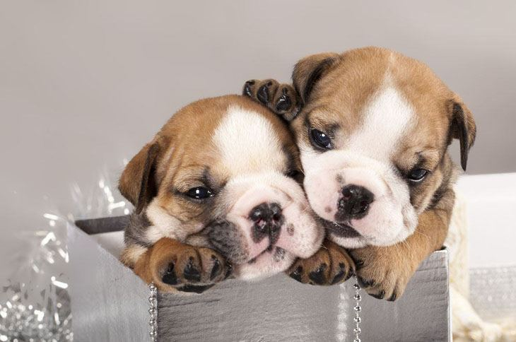 english bulldog puppies popping out of a box