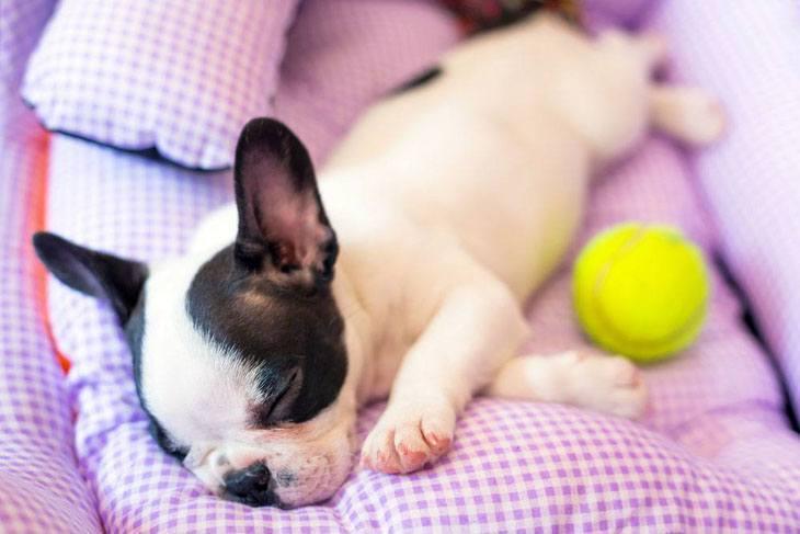 english bulldog puppy taking a nap