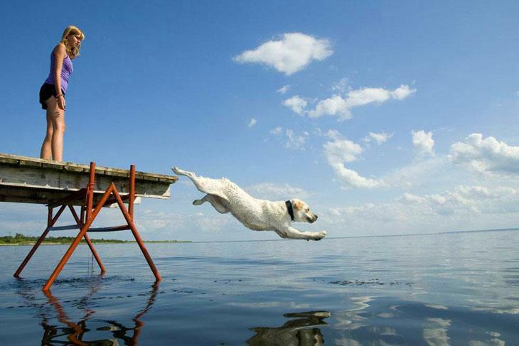 golden retriever taking a swim