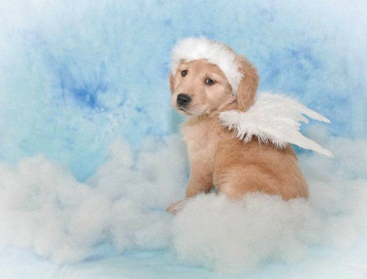 golden retriever puppy wearing angel wings
