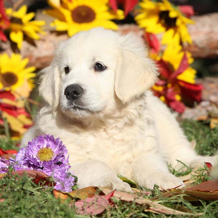 this golden retriever puppy knows it's cute