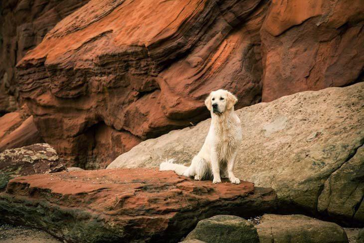 golden retriever enjoying the outdoors