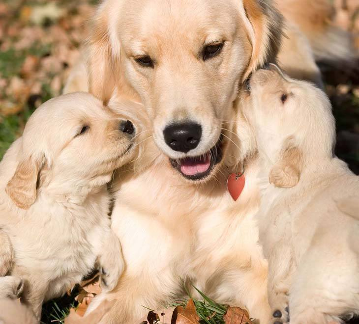 golden retriever mother with pups