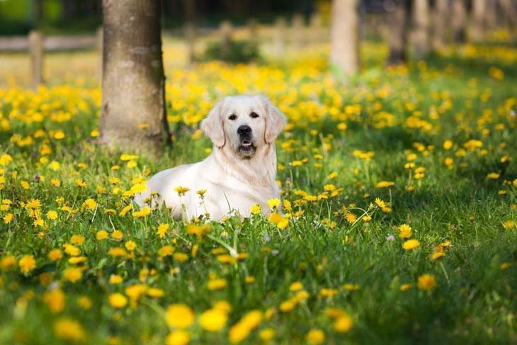 golden retriever out in nature