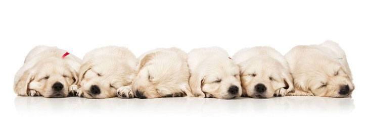 sleeping golden retriever puppies