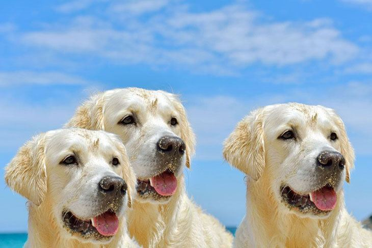 three golden retrievers can't wait to get back into the water